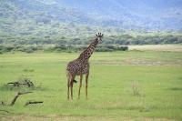 Жирафы в Танзании